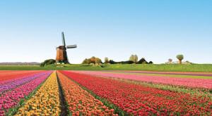 Holland-flowers